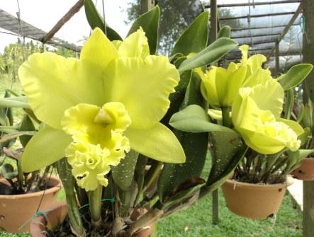 Cattleya-spp